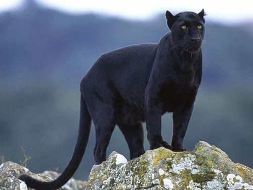 """""""เสือดำ"""" ความสวยงามของทุ่งใหญ่ ที่ไม่มีใครเคยรู้"""